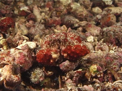 Stock Video Footage of Crustaceans | Box Crabs | Boxcrab | Blinking | Zoom In Shot