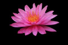 Beautiful Waterlily Stock Photos