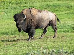 Wild Bison in Yellowstone National Park at Summer, USA - stock photo