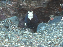 Saddled shrimpgoby keeping lookout on black sand, Cryptocentrus leucostictus, Stock Footage
