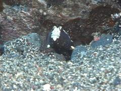 Saddled shrimpgoby, Cryptocentrus leucostictus, UP7283 Stock Footage
