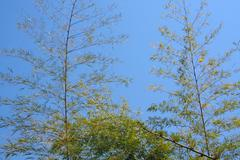 bamboo plants on a background of clear sky - stock photo