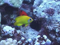 Lemonpeel angel swimming, Centropyge flavissima, UP7309 Stock Footage
