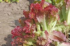 growing lollo rosso salad in a field - stock photo