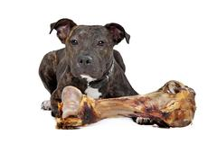 American Staffordshire terrier with a big bone - stock photo