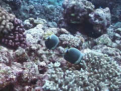 Reticulated butterflyfish feeding, Chaetodon reticulatus, UP7323 - stock footage