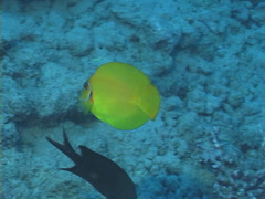 Juvenile Mimic surgeonfish swimming, Acanthurus pyroferus, UP7339 Stock Footage