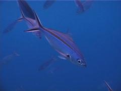 Scissortail fusilier swimming and schooling, Caesio caerulaurea, UP737 Stock Footage