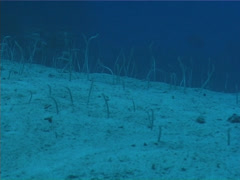 Speckled garden eel feeding on deep sand and coral rubble, Gorgasia maculata, Stock Footage
