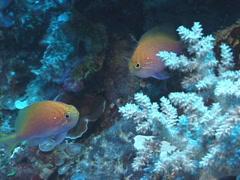 Hawk anthias swimming, Serranocirrhitus latus, UP7403 Stock Footage