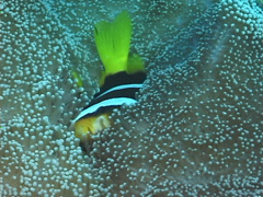 Orangefin anemonefish swimming, Amphiprion chrysopterus, UP7415 Stock Footage