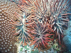 Crown of thorns starfish, Acanthaster planci, UP7418 Stock Footage
