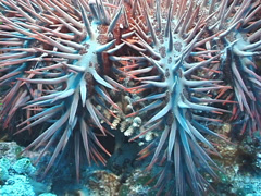 Crown of thorns starfish feeding, Acanthaster planci, UP7420 Stock Footage