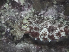 Broadclub cuttlefish feeding at night, Sepia latimanus, UP7423 Stock Footage