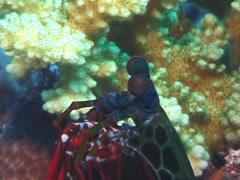 Peacock smasher mantis shrimp looking around, Odontodactylus scyllarus, UP7434 Stock Footage
