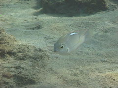 Whitestreak monocle bream feeding, Scolopsis ciliata, UP7467 Stock Footage