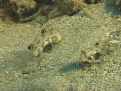 Twinspot goby feeding, Signigobius biocellatus, UP7487 Stock Footage
