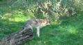 Wolves walking in grassy landscape HD Footage