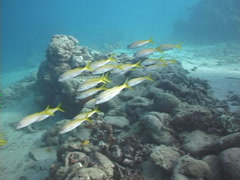 Yellowfin goatfish swimming and schooling, Mulloidichthys vanicolensis, UP7497 Stock Footage