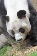 giant panda bear walking - stock photo
