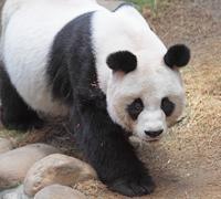 giant panda bear walking - stock photo