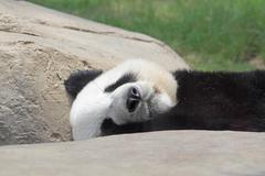 sleeping panda - stock photo
