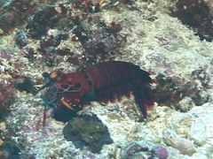 Peacock smasher mantis shrimp looking around, Odontodactylus scyllarus, UP7536 Stock Footage