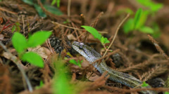 A Japanese Rat Snake. Stock Footage