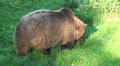 Brownbear eating a lot of grass close up HD Footage