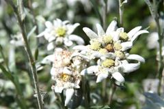edelweiss blossom. close-up - stock photo