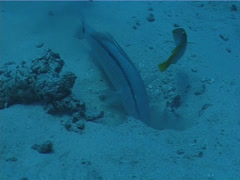 Dash dot goatfish breathing, Parupeneus barberinus, UP756 Stock Footage