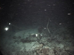 Sea snake hunting on dead reef at night, Unidentified Species, UP7567 Stock Footage