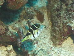 Black-saddle toby swimming, Canthigaster valentini, UP7612 Stock Footage