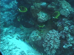 Racoon butterflyfish swimming and schooling, Chaetodon lunula, UP7627 Stock Footage