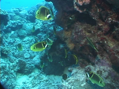 Racoon butterflyfish swimming and schooling, Chaetodon lunula, UP7628 Stock Footage