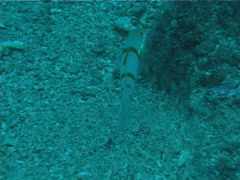 Decorated goby swimming, Valenciennea decora, UP763 Stock Footage