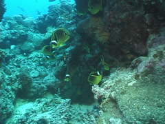 Racoon butterflyfish swimming and schooling, Chaetodon lunula, UP7630 Stock Footage