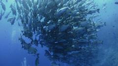 Seasonal gathering - large school of snapper fish 25fps - stock footage