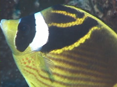 Racoon butterflyfish swimming, Chaetodon lunula, UP7634 Stock Footage