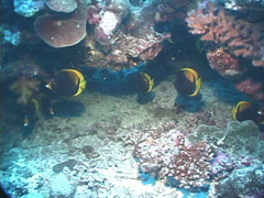 Black butterflyfish swimming and schooling, Chaetodon flavirostris, UP7637 Stock Footage