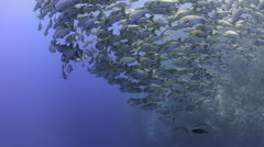 Seasonal gathering - large school of snapper fish 29.97fps Stock Footage