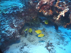 Longnose butterflyfish swimming and schooling, Forcipiger longirostris, UP7640 Stock Footage