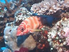 Black-tipped grouper looking around, Epinephelus fasciatus, UP7644 Stock Footage
