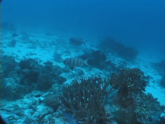Crescent-tail bigeye hovering, Priacanthus hamrur, UP7655 Stock Footage