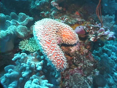 Unidentified spiky sea cucumber swaying, Holothuria sp. Video 7663. Stock Footage