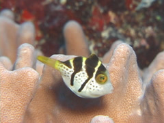 Juvenile Mimic filefish swimming, Paraluteres prionurus, UP7671 Stock Footage