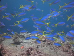 Blue and gold fusilier swimming and schooling, Caesio teres, UP7679 Stock Footage
