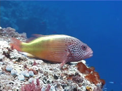 Freckled hawkfish, Paracirrhites forsteri, UP768 Stock Footage