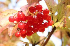 ripe berries of viburnum opulus (snowball tree or arrow-wood) - stock photo