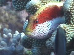 Freckled hawkfish, Paracirrhites forsteri, UP769 Stock Footage